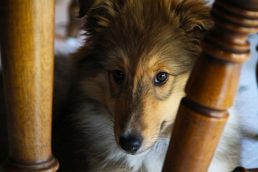 This Sheltie puppy appears to be somewhat shy!