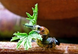 A scary caterpillar on a geranium stem, Australia.