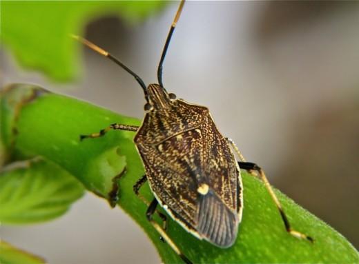 Shield bug, Melbourne Australia.
