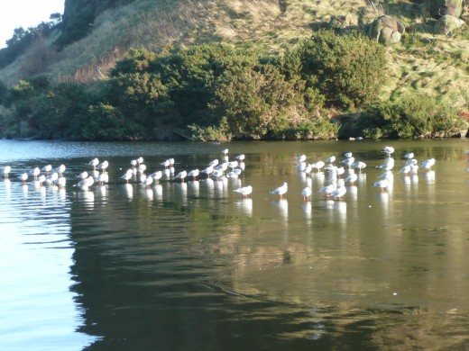 Seabirds on the loch