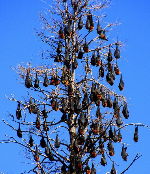 A guano-load of pteropus poliocephalus at the Royal Botanic Gardens in Sydney, Australia. Commonly known as the grey-headed flying fox, this megabat feeds on fruit, nectar, and pollen.