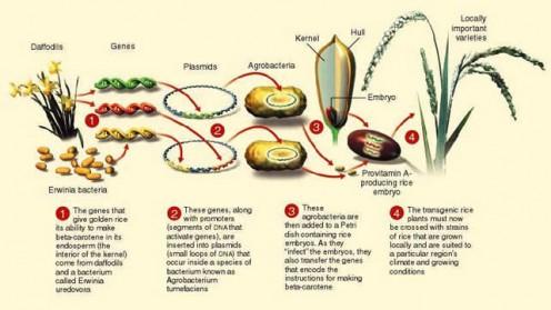Trangenic Organisms  Golden RiceGolden Rice Diagram