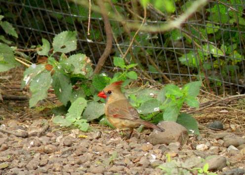 Female Cardinal feeding on the ground is a common sight near backyard bird feeders.