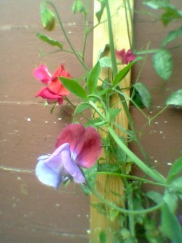 My beautiful Sweet Peas! Photo Copyright Nell Rose
