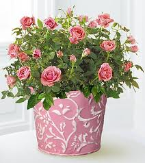 Beautiful Pink Miniature Rose Bush