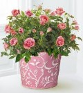 Miniature Rose Bush - Indoor Care