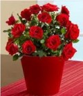 Healthy Miniature Rose Bush