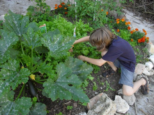 My boy taking care of the courgettes/zucchinis.