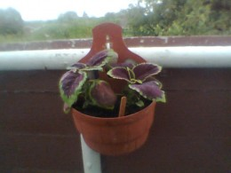 Coleus in attached flower pot. Photo Copyright Nell Rose