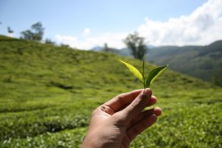 Green Tea vs Oolong Tea - Part 2 - Sources