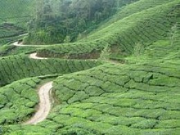 tea plantation in Southern India
