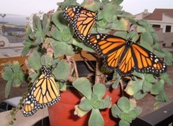 Canary Islands butterfly gardening in Tenerife