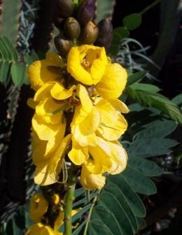 Senna (Cassia didymobotrya) Photo by Steve Andrews