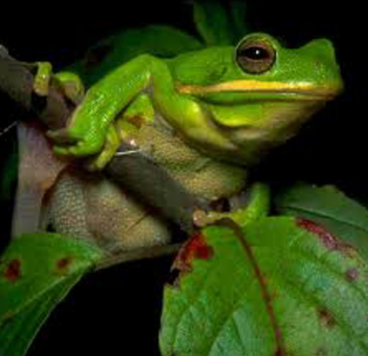 Tree Frogs are a unique creature native to the area and sound like a song bird at night.
