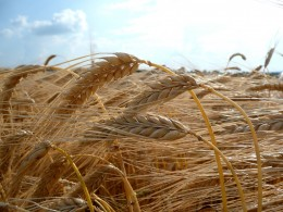 Barley. Source: Carport, wikimedia commons, CC BY-SA 3.0.