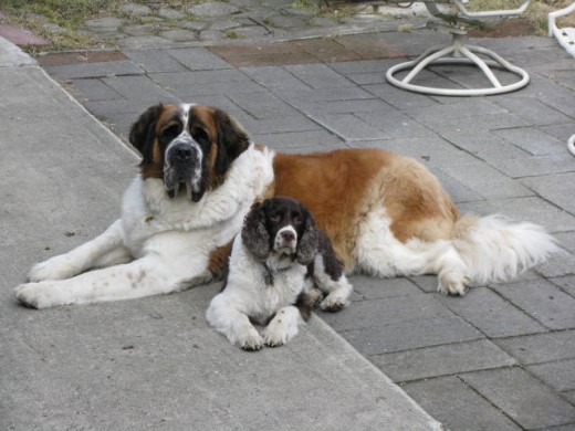 St. Bernard resting with his buddy (springer spaniel).