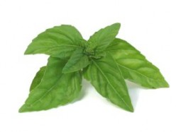 How to Grow the Kitchen Garden Herb Basil (Ocimum Basilicum)