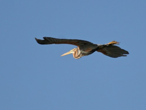 Marievale Bird Sanctuary, Gauteng Province, South Africa: Purple Heron
