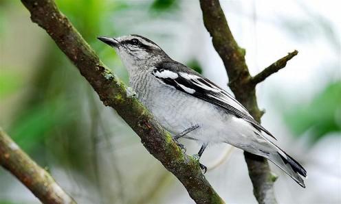 Pied Triller, male (Lalage nigra striga
