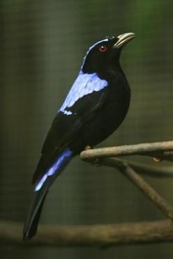 Irena puella, San Diego Zoo aka Lightmatter fairy bluebird