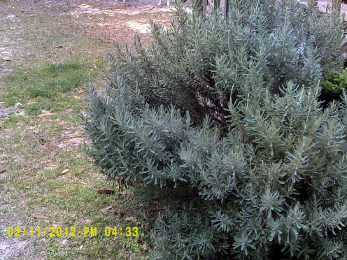 mature lavender, this one is around 3 feet tall.