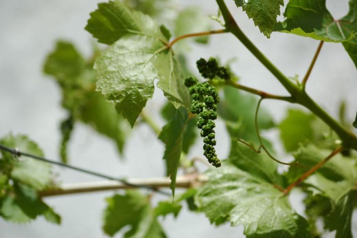 Young green grapes.