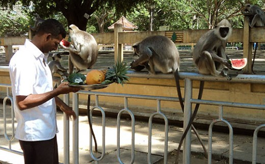 There is a big population of Ceylon Grey Langur monkeys in the surroundings of Kataragama holy area.
