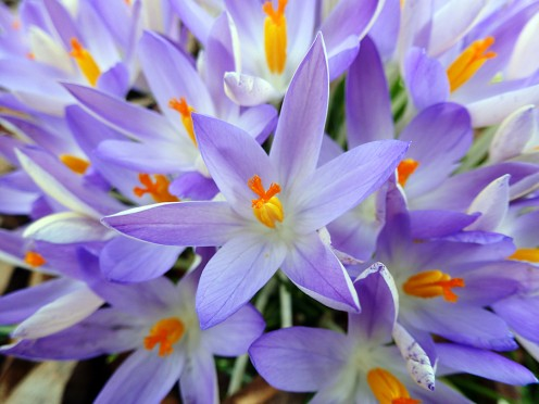 Crocus 14th February 2012