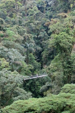 An overview of a rainforest canopy and a hanging  bridge.