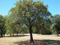 What tree is native to your area?