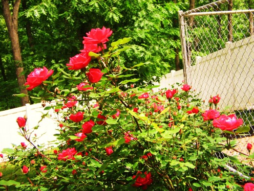 Vinyl fence is visible in the background, enclosing the yard. Behind the flowers is a galvanized frame of chain link, also known as a kennel panel.
