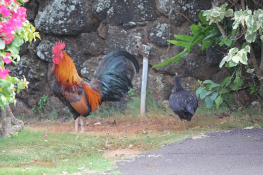 Sentry the rooster guards Lihue's Budget Rent- A- Car building.