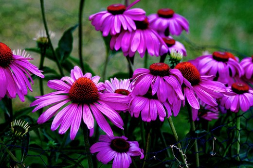 Purple Coneflower, one of our beautiful native perennials. Photo by Randy Son of Robert.