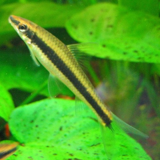 Controlling algae with algae eating tropical fish for Eating fish everyday