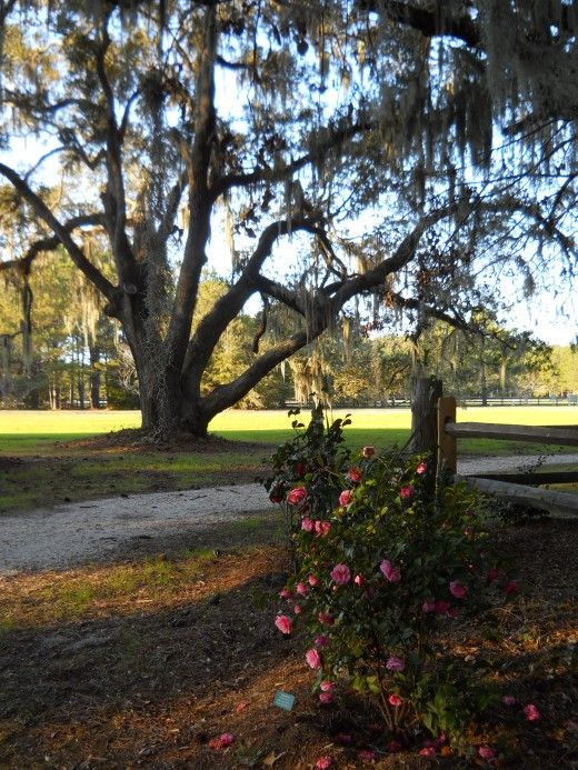 Majestic live oaks also line the Camellia Garden Path.