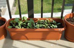 Healthticket Grow Radishes In Containers