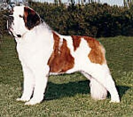 A Saint Bernard is a beautiful but extremely large and sometimes sloppy dog.