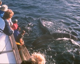 When the sea is calm, it is possible to get a close look at whales.
