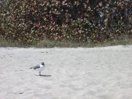 Gull !