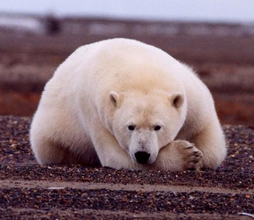 Placid polar bear.
