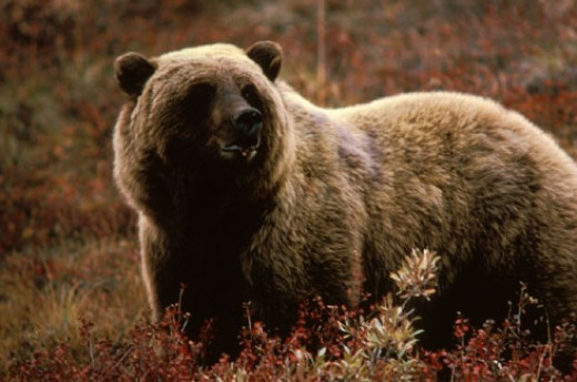 Brown bear. USFWS.