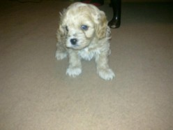 Meet Our New Puppy, Charlie the Cavapoo