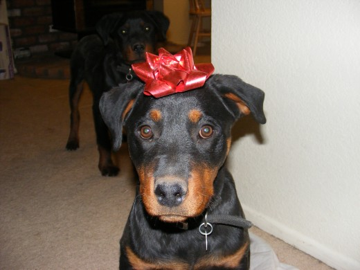 Christmas is time to share, but don't share certain Christmas foods with dogs!