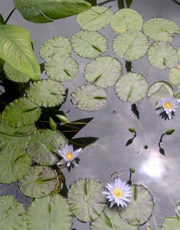 Photo taken by Ramasamy Chidambaram. Water lilies - shot at the Singapore science museum