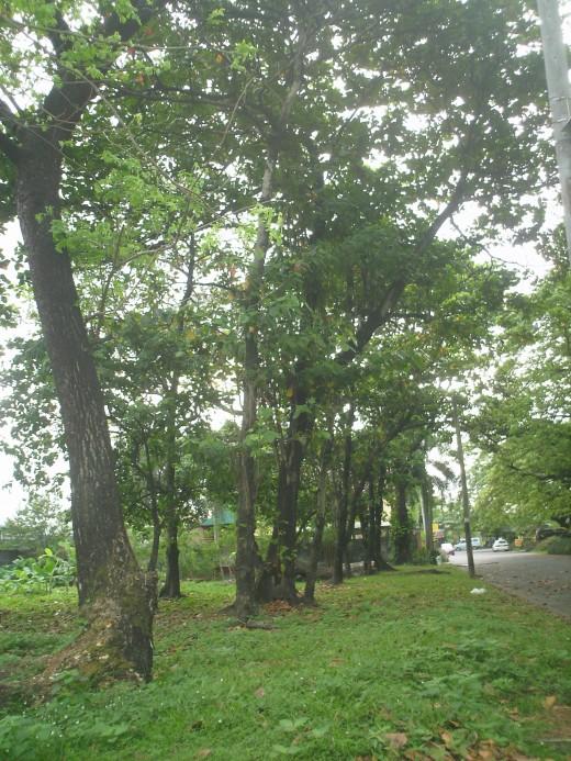 Trees are noise deterrent.