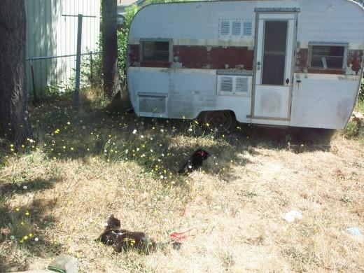 Carbon and Skylar enjoying the sunny backyard on their leashes