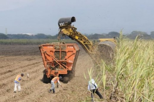 cutting down the sugar cane plants at Ingenio San Antonio