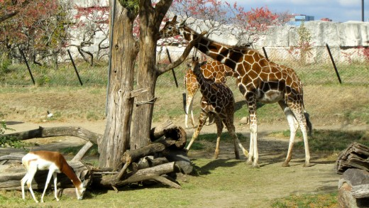Giraffes on exhibit