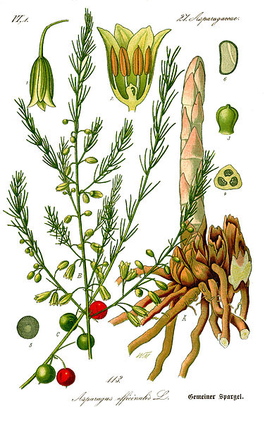 German botanical illustration of asparagus. Have you ever thought of growing your own asparagus.