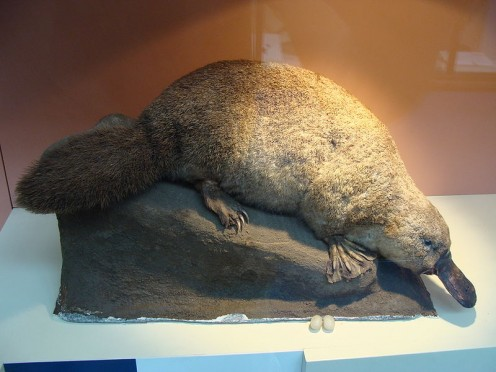 Ornithorhynchus anatinus (Duck-billed platypus) in the Natural History Museum of London